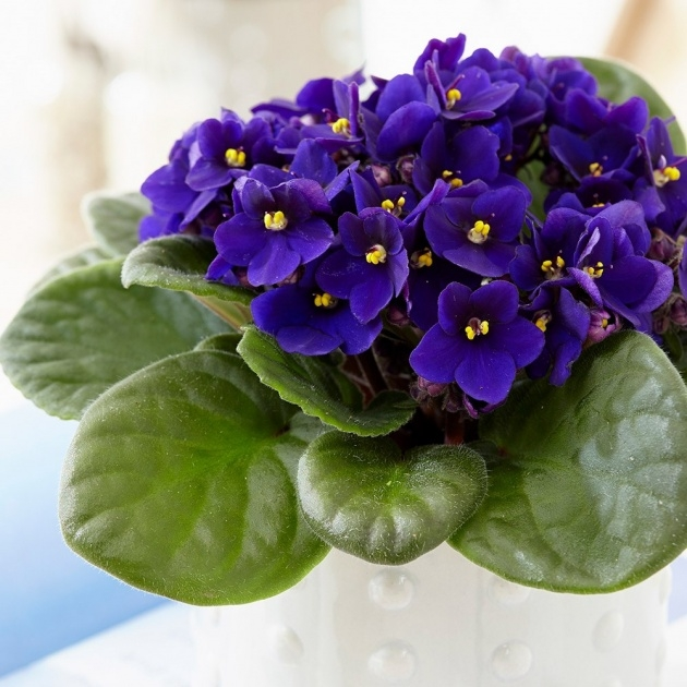 Inspirational African Violet Plant Photo