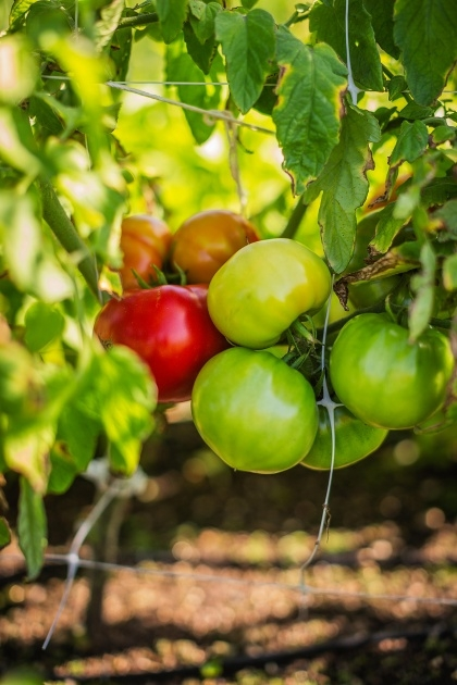 Inspirational Hanging Tomato Plants Photo