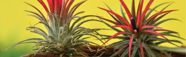 Inspiring Full-Sun Bromeliads For Florida Photo