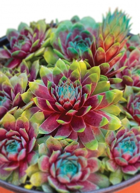 Inspiring Hens And Chicks Plant Picture