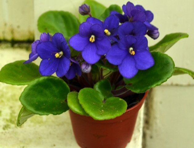 Interesting African Violet Plant Picture