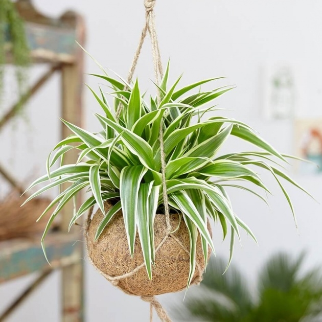 Interesting Houseplants Scale On Spider Plants Photo