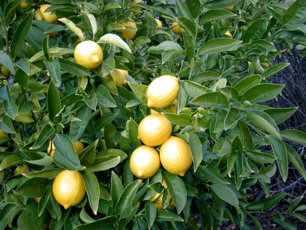 Interesting Lemon Tree Plant Picture