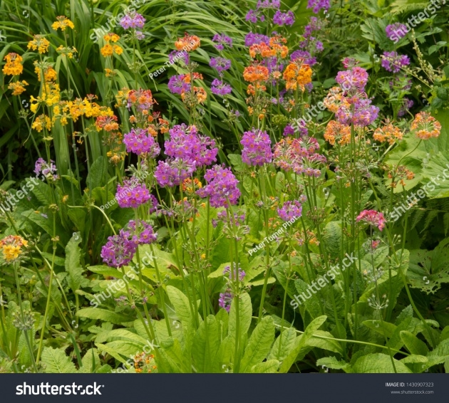 Interesting Primula Bog Garden Image