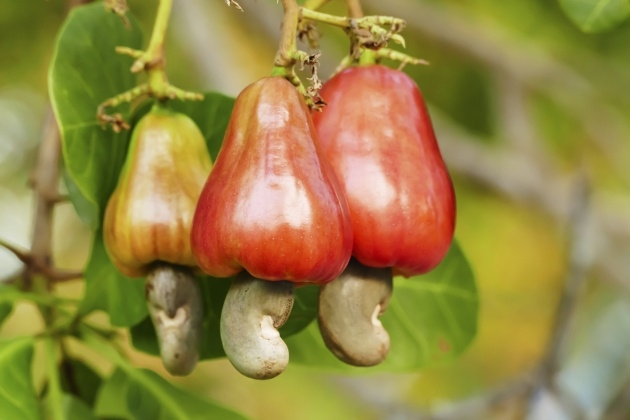 Marvelous Cashew Nut Plant Photo