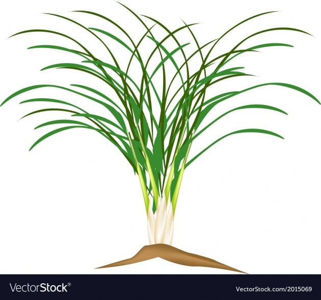Marvelous Lemon Grass Plant Image