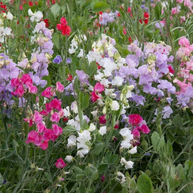 Marvelous Sweet Pea Plant Photo