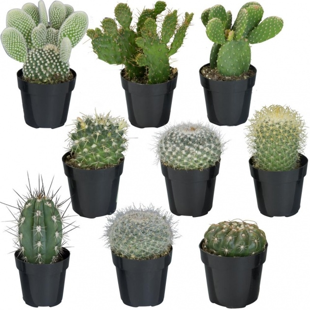 Most Creative Cactus That Dont Need Soil Picture