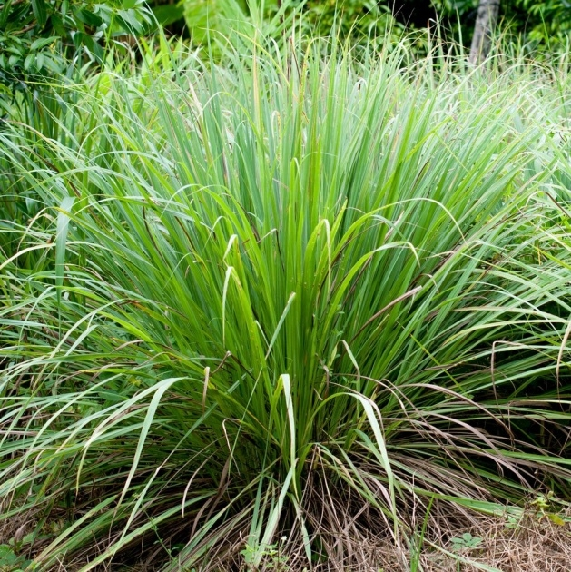 Most Creative Lemon Grass Plant Image