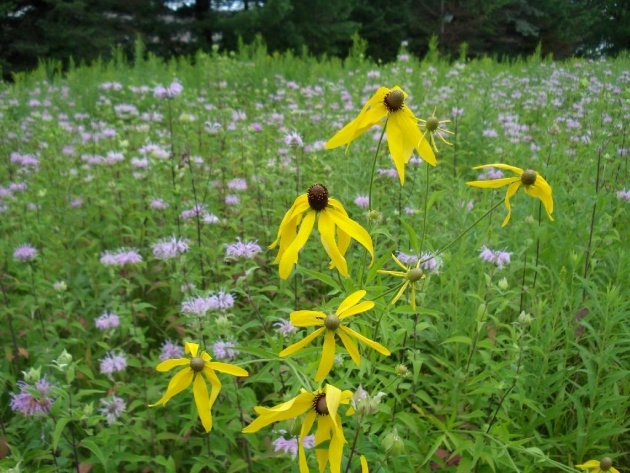 Most Creative Prairie Flowers For Wisconsin Image