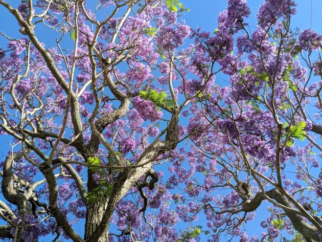 Most Creative Trees With Purple Blossoms In Arizona Photo