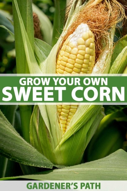 Most Perfect Sweet Corn Plant Photo