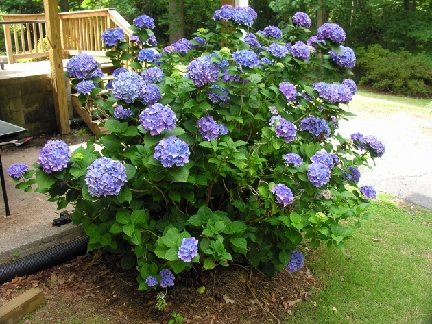 Most Popular Hydrangea Plant Picture