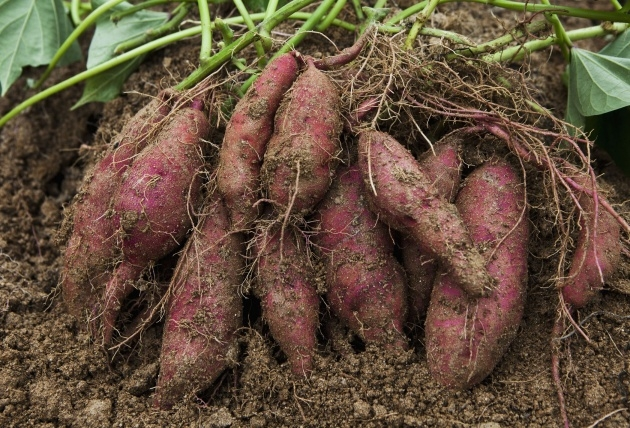 Most Popular Sweet Potato Plant Picture