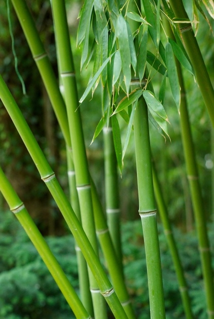 Outstanding Bamboo Plant Picture