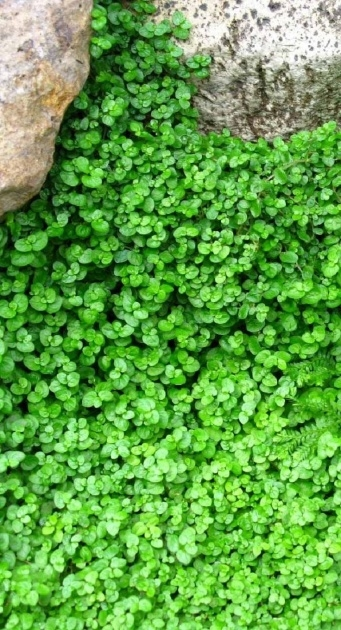 Outstanding Low Ground Cover Plants Image