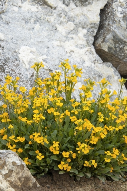 Outstanding Wallflower Plant Image