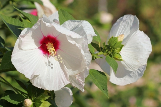 Perfect Hibiscus Plant Picture