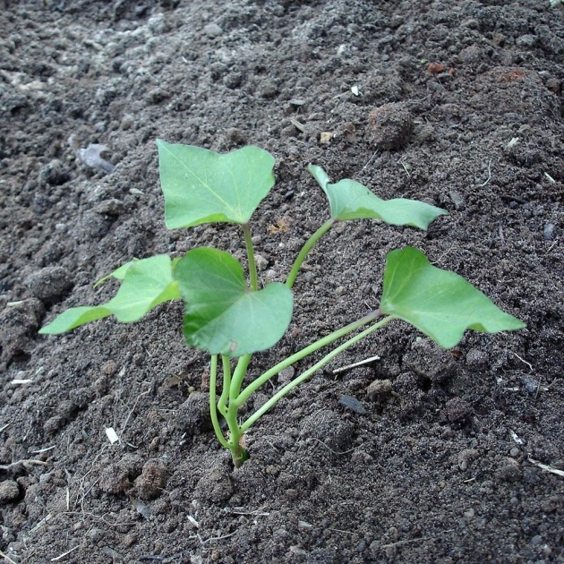 Perfect Sweet Potato Plant Picture