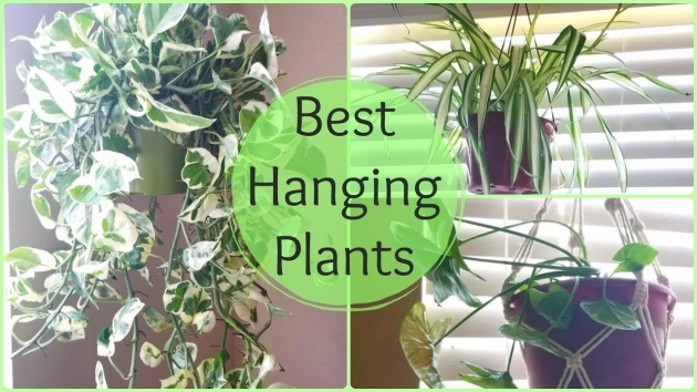 Popular Indoor Hanging Plants Picture