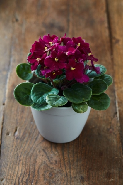 Popular Small Indoor Plants That Flower Image