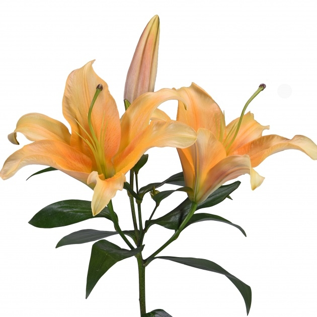 Remarkable Achieved Lily Flowers Picture