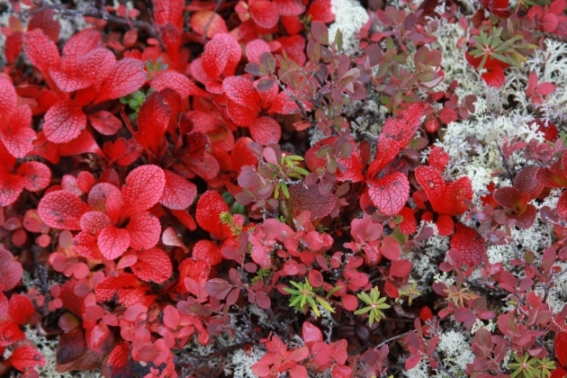 Remarkable Images Of Tundra Plants Picture