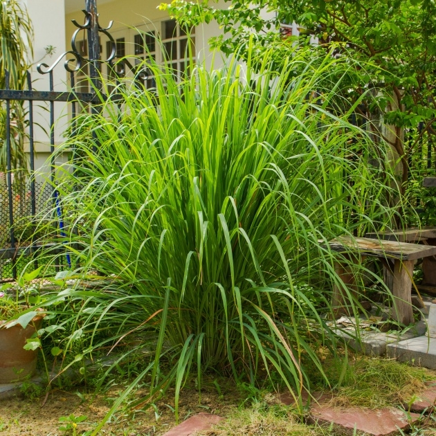 Remarkable Lemon Grass Plant Photo