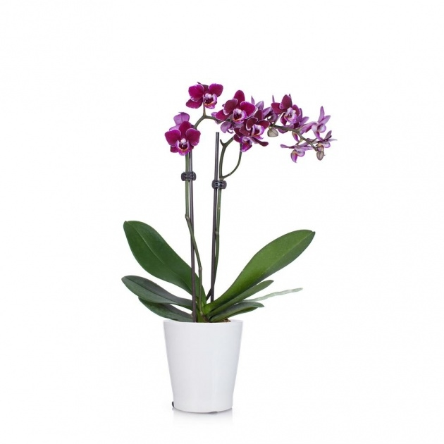 Remarkable Orchid Plant Pot Image