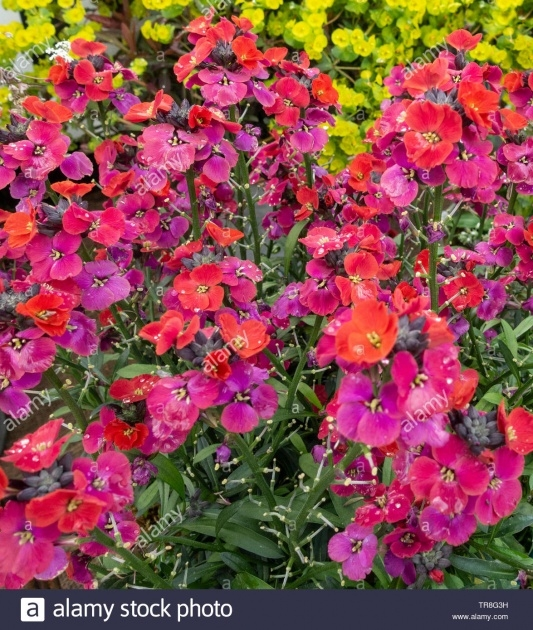 Remarkable Wallflower Plant Image