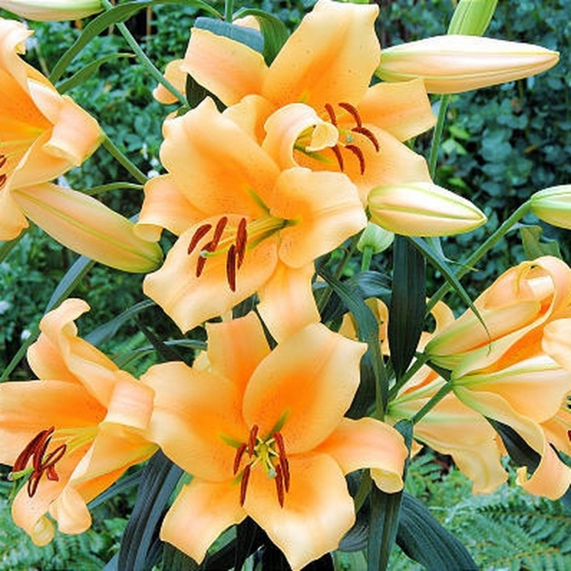 Sensational Achieved Lily Flowers Photo