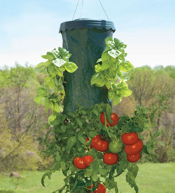 Sensational Hanging Tomato Plants Photo