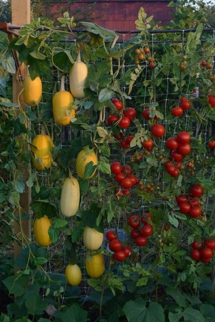 Sensational Hanging Vegetable Plants Image