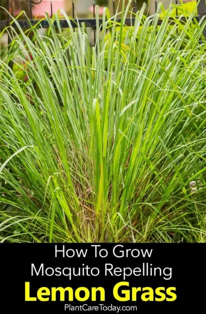 Sensational Lemon Grass Plant Photo