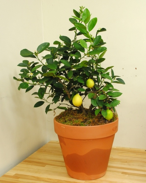 Sensational Lemon Tree Plant Image