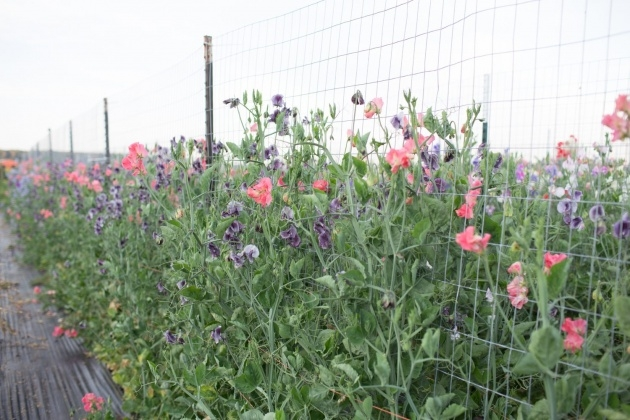 Sensational Sweet Pea Plant Photo