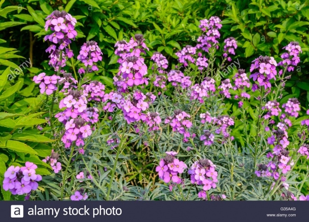 Sensational Wallflower Plant Picture