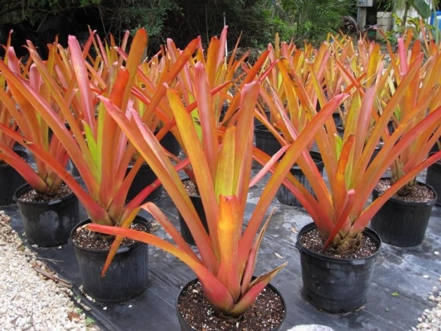 Simple Full-Sun Bromeliads For Florida Picture