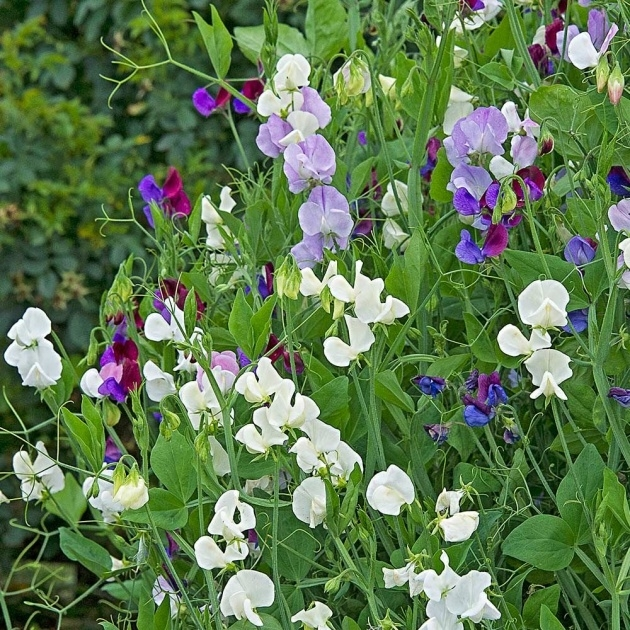 Simple Sweet Pea Plant Photo
