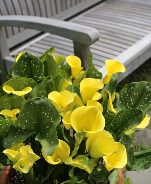 Stunning Calla Lily Plant Picture