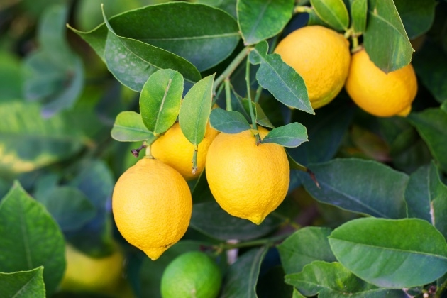 Stunning Lemon Tree Plant Photo