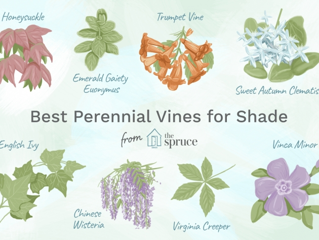 Stunning Vines That Grow In Shade Image
