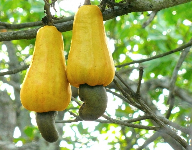 Stylish Cashew Nut Plant Picture