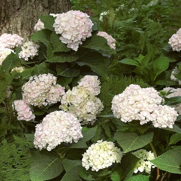 Stylish Hydrangea Plant Photo