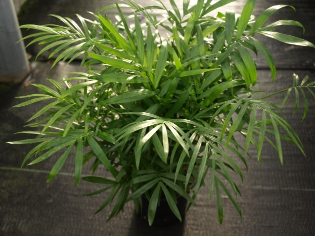 Stylish Indoor Plant With Long Slender Leaves Violet Edges Picture