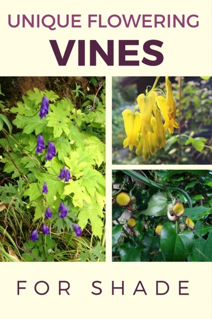 Stylish Vines That Grow In Shade Photo