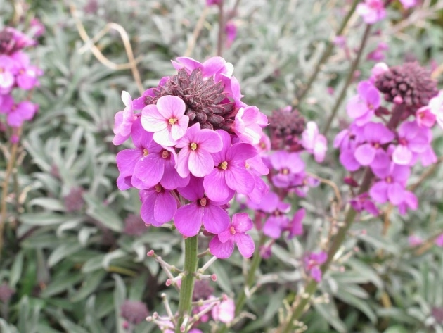Stylish Wallflower Plant Picture