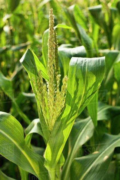 Super Cool Sweet Corn Plant Image