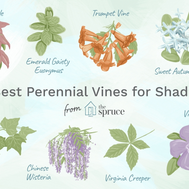 Super Cool Vines That Grow In Shade Picture