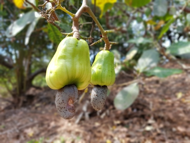 Top Cashew Nut Plant Picture